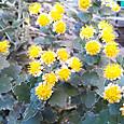 庭の磯菊②